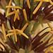 Agave lechugilla flower closeup