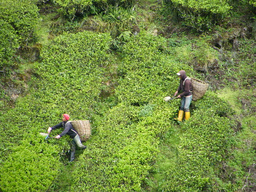 Picking tea in the Cameron Highlands, Malaysia