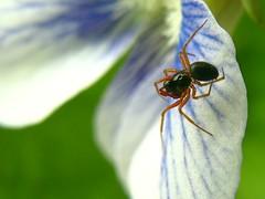 IMG_1413 Photo Op 5-3-09 (arkansas traveler) Tags: flowers spider arachnid ant macros viola bokehlicious naturewatcher