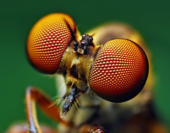 Eyes of a Holcocephala fusca Robber Fly (Thomas Shahan) Tags: portrait detail macro slr oklahoma face closeup vintage bug insect lens prime fly compound eyes focus pentax takumar zoom head thomas flash 28mm tubes flies extension reversed dslr smc vivitar softbox f28 diffuser facets stacked antennae robber opo entomology arthropod fusca macrophotography bayonet asilidae facet shahan compoundeye compoundeyes macroextreme thyristor specanimal terser holcocephala k200d macrolife holcocephalafusca