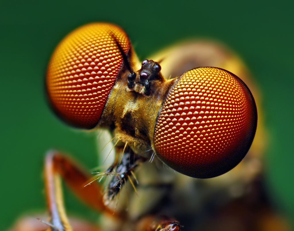 Bug close-up: Eyes of a Holcocephala fusca Robber Fly