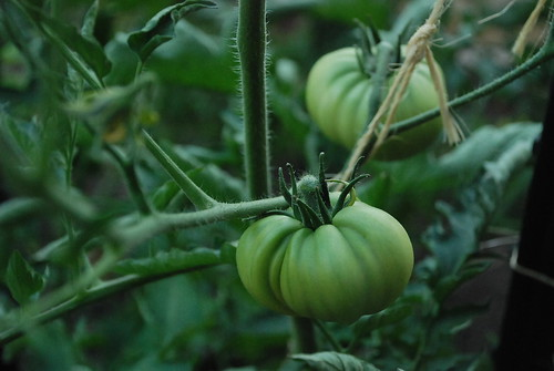 Black Krim Heirloom