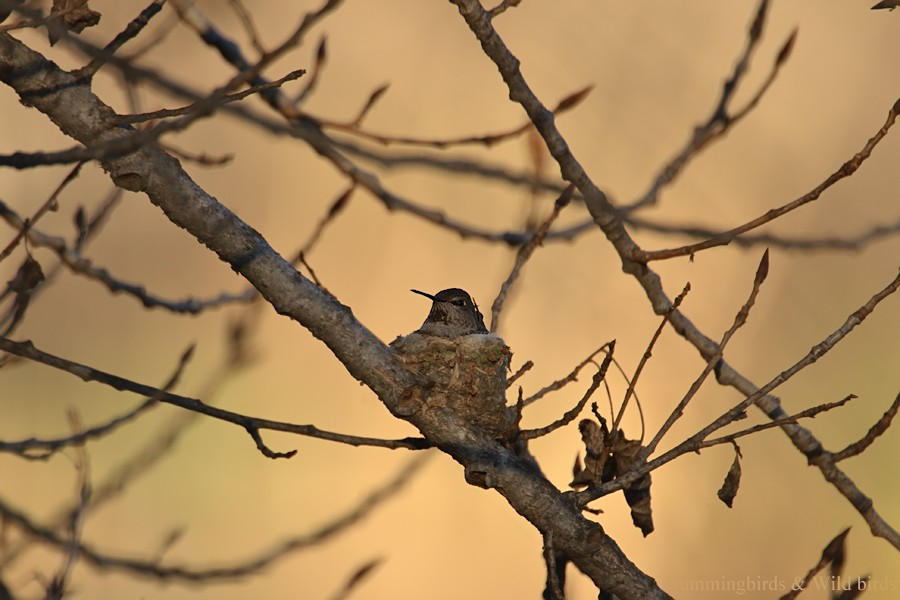 Anna's Hummingbird nest091-7