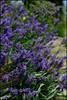 lavender (aloalo*) Tags: plant canada flower nature bc purple lavender delta westhamisland westhamislandherbfarm