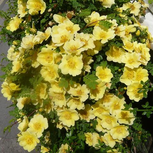 Canary Rose