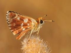 Spialia sertorius (diegocon1964) Tags: lepidoptera hesperiidae pyrginae hesperioidea spialia spialiasertorius sertorius