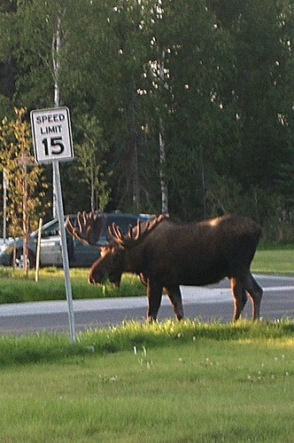 moose visiting our neighborhood