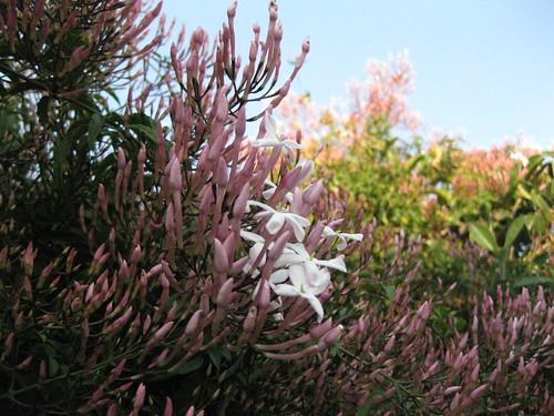 spring jasmine blooms