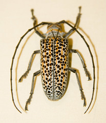 CD469 Spotted Longhorn Beetle (listentoreason) Tags: usa nature animal closeup america canon insect newjersey unitedstates beetle favorites places animalia arthropoda invertebrate arthropod coleoptera longhornbeetle cerambycidae tomsriver insecta longicorn pterygota longhornedbeetle neoptera endopterygota score35 ef28135mmf3556isusm polyphaga bugmuseum chrysomeloidea insectropolis bugseum