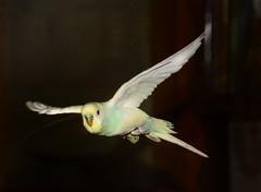Budgie (Greenpumkin) Tags: birds nikond70s budgies