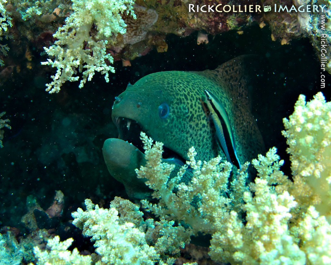 Underwater photo of a giant moray eel being cleaned by a Red Sea cleaner wrasse at Ras Muhammad, Egypt