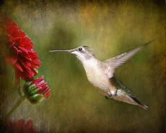 Happy Friday, Dear Friends!! (*Cristiana*) Tags: flowers nikon hummingbird sensational birdwatcher greatphoto happyfriday coth bej specanimal birdsphotos naturewatcher thesuperbmasterpiece awardtree arttate artofimages magicunicornverybest magicunicornmasterpiece