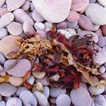 Seaweed on Pebbles