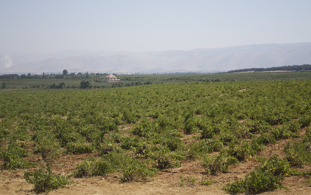 BEKAA VALLEY VINEYARDS