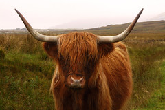 Highland Cattle - Island Of Mull (Ian Lambert) Tags: cold rain islands scotland cow wind farmers farm beef horns scottish bull meat hills croft westernisles roam isles highlandcattle export freerange smallholding islandofmull