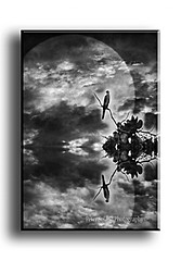 Moon Falcon (Peter Solano. Pursuing a dream!) Tags: trees blackandwhite moon lake reflection blancoynegro water clouds photoshop lago agua arboles creative luna explore movieposter falcon afiche reflejos magazinecover halcon copyright portadaderevista canonpowershotsx10is