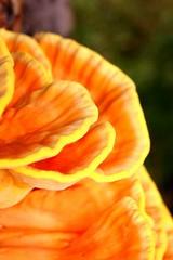 Schwefelporling 2 (pascal_ernst) Tags: orange mushroom weide fungi gelb grn braun blatt baum rinde wassertropfen pilz donau sulphureus schn laetiporus donauradweg schwefelporling