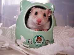 Hamster Wish (hamstertroy) Tags: silver grey spot hamster wish satin syrian dominant banded