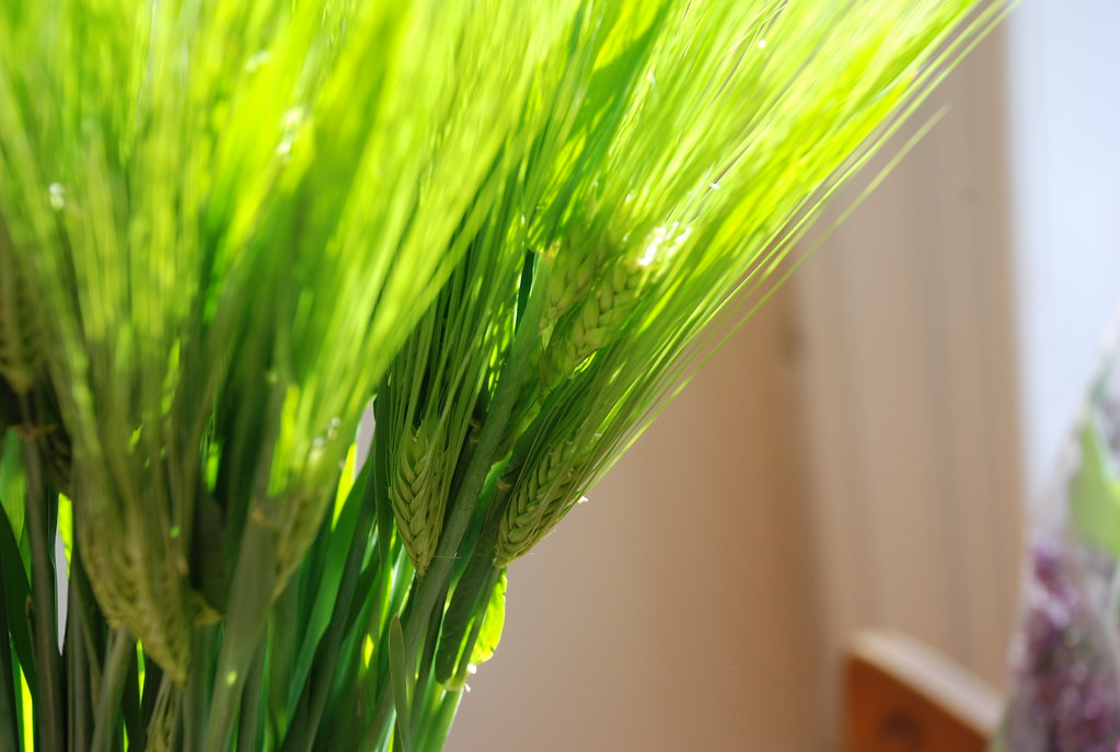 green wheat