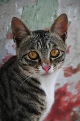 hello Kitty.. (MelindaChan^^) Tags: pet cat kitten hellokitty stripe kitty mel meow melinda macau  animail chanmelmel