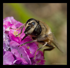 Drone Fly (Eristalis tenax) (Moneycue) Tags: pink flower macro nature netherlands closeup canon bug insect fly spring europe european may explore creep hover zweefvlieg dronefly blindebij explored eristalistenax wirsindwahr moneycue