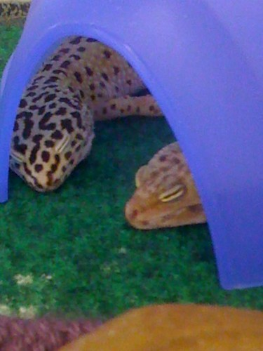 Sleepy Geckos