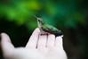 A Bird in the Hand. -Explore (Sebastian Sans) Tags: life bird nature animal digital georgia nikon hummingbird hand small save3 save7 save8 delete save save2 save9 save4 save5 save10 dslr save6 d90 sibastino savedbythehotboxuncensoredgroup