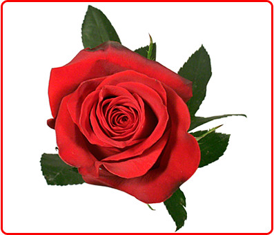 Valentines Roses on For 25 Red And 25 Assorted  50 Total  Valentine   S Roses Is  99