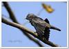 Chestnut-tailed Starling (Sturnus malabaricus) (Z.Faisal) Tags: bird nature nikon beak feathers starling aves nikkor bangladesh avian bipedal bangla kath faisal feni desh d300 zamir sturnus malabaricus chestnuttailedstarling sturnusmalabaricus pakhi endothermic chestnuttailed nikkor300mmf4 muhuri shalik sheruk pubail zamiruddin vosplusbellesphotos zamiruddinfaisal zfaisal kathshalik sherukabeleka abeleka khoiralej telshalik khoiralejtelshalik muhuriproject muhuridam