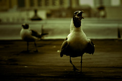 Winged Jackal (madhorse5) Tags: summer usa bird nature newjersey fb seagull nj atlanticcity 2008 madhorse5