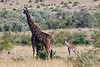 A baby masai giraffe and it's mother