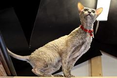 pilcsta in garage (TranKmasT) Tags: cat canon 50mm arch 14 5d cornishrex mkii enema pilcsta