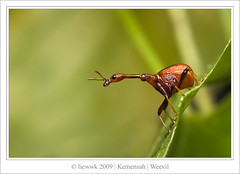 2.8 Giraffe Weevil (male)... s.i.d.e ...