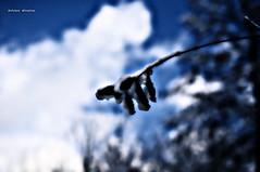 Heavy Shoulders (Monsieur Nounou) Tags: highcontrast bluesky concept whiteclouds blackandblue snowleafs