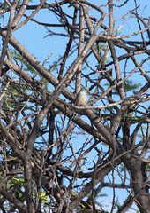 11-18-08 Etosha NP-Namutoni Resort-Blue Waxbill (Sea Chest) Tags: namibia bluewaxbill etoshanationalpark namutoniresort