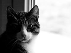 Wolverine (davdenic  in the sky ) Tags: cats pets cat kitten felino felini miao gatto gatti domestico animali animale wolverine micio gattino gatte gatta