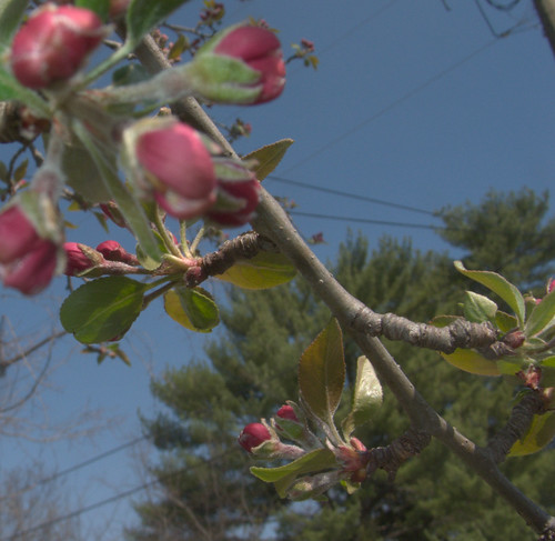 Crabapple Buds on St. Patrick's Day
