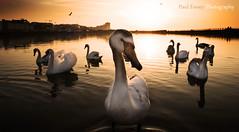 Curiosity. (Paul Fessey) Tags: new lake bird beach paul photography nikon marine brighton swans wallasey wirral newbrighton d300 fessey omglawl