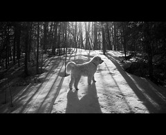 Shadow Walker  11~52 (Mark Muschett Photography) Tags: dog forest shadows doodle minden goldendoodle sampson 52weeksfordogs 11~52