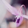 Purple symphony (* mateja *) Tags: macro bokeh soe mateja aworkofart erythroniumdenscanis shieldofexcellence infinestyle macroflowerlovers 4mazingorgeoushotsoflowers 100commentgroup perfectpurplesaturday pasjizob