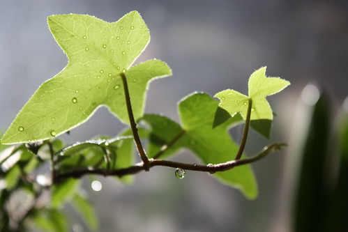 Ivy with droplets