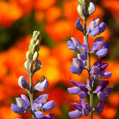 Lupine in Hot Lava!