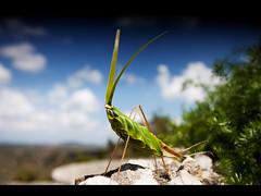 Grasshopper (Kaj Bjurman) Tags: blue sky green clouds eos dof bokeh cuba 5d grasshopper 2009 kaj mkii markii holguin bjurman