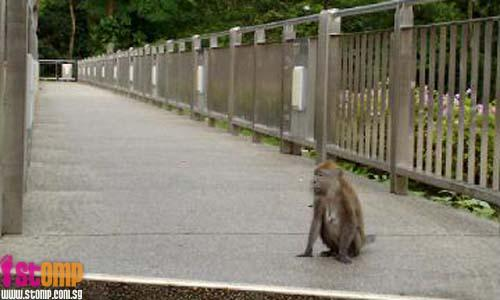No jaywalking. Monkeys more law-abiding than humans