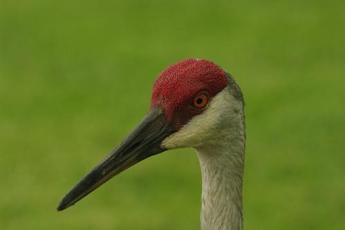 Sandhill Crane Head