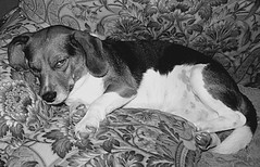 Oh, It's YOU Again (faith goble) Tags: dog art beagle puppy artist nap photographer kentucky ky sleepy lazy larry goaway creativecommons poet writer grumpy bowlinggreen blackwhitephotos faithgoble gographix flickrunitedwinner faithgobleart
