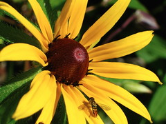 Black Eyed Susan (Clay Dancer Pottery) Tags: yellow wasp blackeyedsusan claydancerpotteryflowersgarden