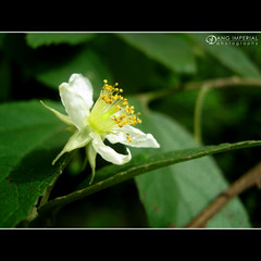 Gratitude (imperial_md) Tags: white flower green bokeh single pollen cy ikawaypinoy