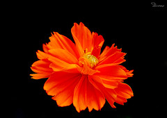 Fire-Flower (Douano) Tags: orange flower color nikon dana fireflower dandee platinumheartaward douano