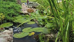 Pond life (www.davidspickett.co.uk) Tags: life white plant david flower water dave cat garden book video pond mac stream fuji pad bubbles 09 lilly finepix fujifilm ilife compact dsp imovie macbook s5700 dsphotography davidspickett spickett